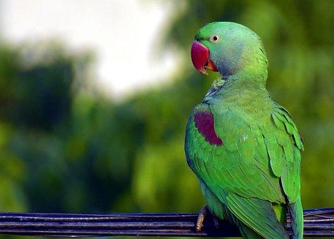 Parrot, Bird, Green, Red Beak, Parakeet, Ring-necked