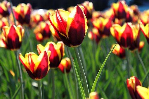 Tulip, Flower, Bloom, Spring, Summer, Green, Close