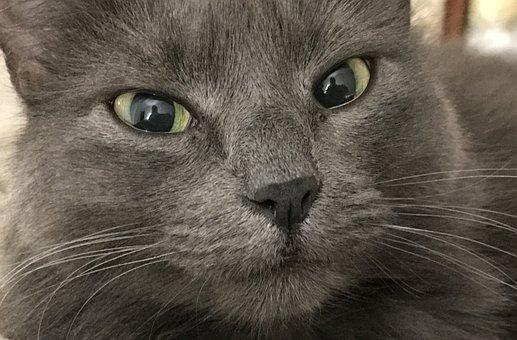 Cat, Grey, Feline, Whiskers, Eyes, Furry, Kitty, Fur