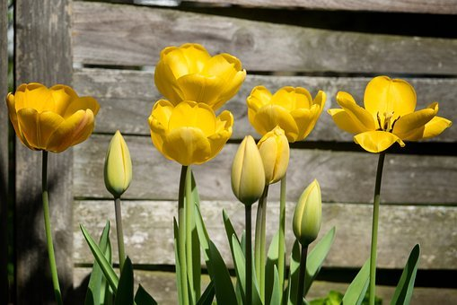 Tulips, Yellow, Spring, Flowers, Blossom, Bloom