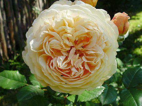 English, Rose, Beautiful, Flower, Plant