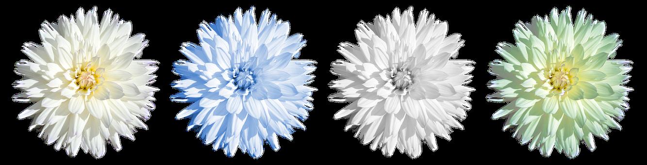Dahlia, Blossom, Bloom, Flower, Dahlia Garden