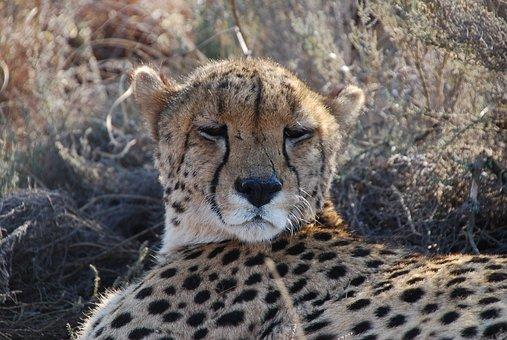 Cheetah, South Africa, Wildlife