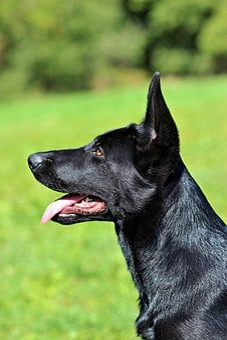 Black German Shepherd, Puppy, Dog, Head, Beauty