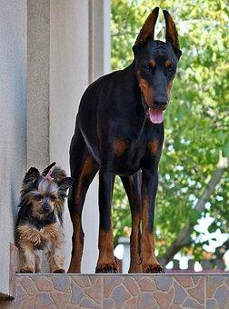 Doberman, Yorkie, Dogs, Love, Friendship