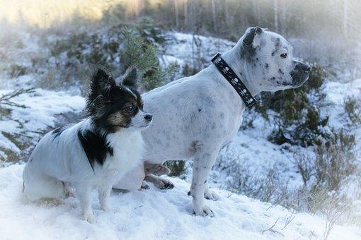 Dogs, Chihuahua, English Staffordshire, Winter, Profile