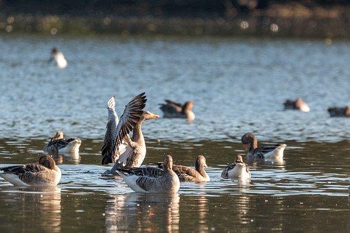 Canada Goose, Goose, Geese, Lake, Water, Water Bird