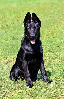 Black German Shepherd, Puppy, Dog, Sitting, Grass