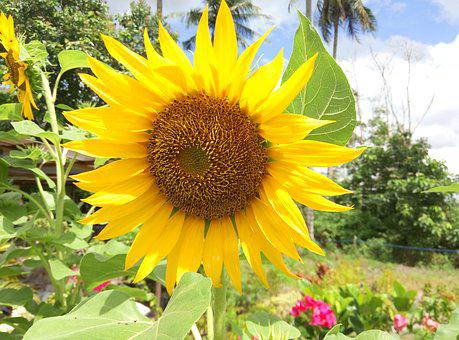 Flowers, Sunflower, Nature, Yellow, Agriculture, Green