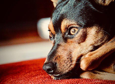 Dog, Pinscher, Tenderness, Muzzle, Sweetness, Loyalty