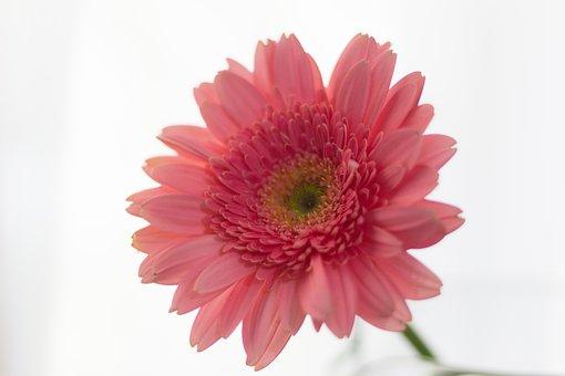 Flower, Gerbera, Rosa, Nature, Beauty, Pink Flowers