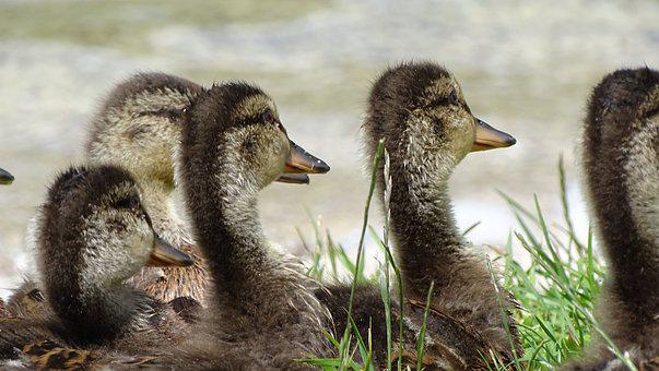 Duck, Group, Lake, Water, Water Bird, Peaceful