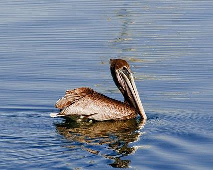 Pelican, Brown, Wildlife, Refection, Sea, Blue, Still