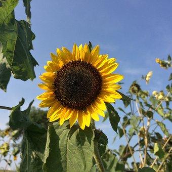 Sunflower, Summer, Farm, Yellow, Sun, Plant