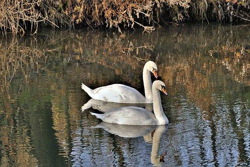 Swans, Water, White Swan, Mirroring, Swim, Water Bird