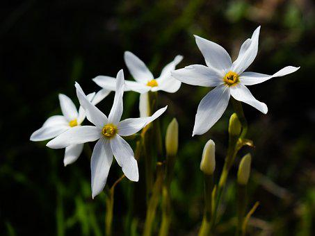 Flower, Lilies, White, Nature, Blossom, Petal, Blooming