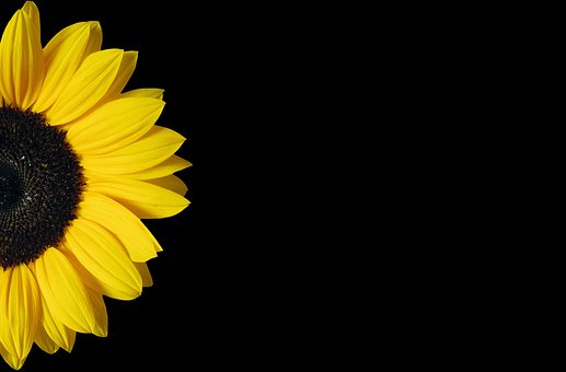 Sunflower, Yellow, Black, Background, Copy Space