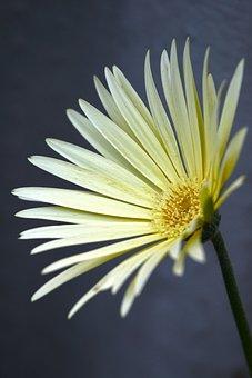 Floral, Flower, Gerbera, Yellow, Cream, Bloom, Blossom