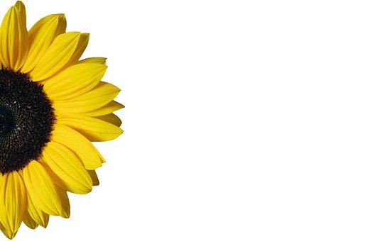 Sunflower, Yellow, Isolated, White, Background