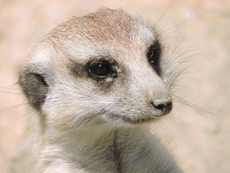 Meerkat, Animals, Nature, Alert, Look, Fauna, Watchman