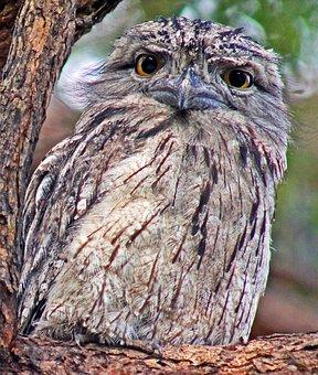 Frogmouth, Bird, Wildlife, Nature, Australia, Tawny