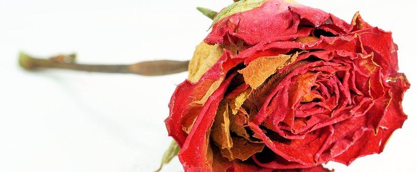 Rose, Red, Dry, Love, Flower, Blossom, Bloom, Red Rose