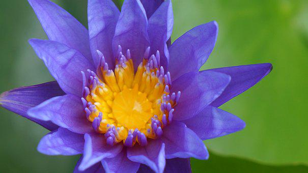Natural, Lily, Blue Purple, Pistil Yellow