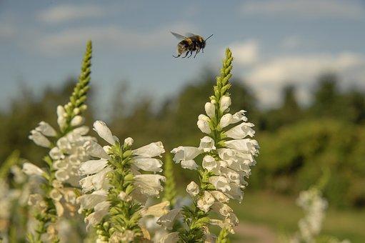 Closeup, Nature, Bumblebee, Flight, White Flowers