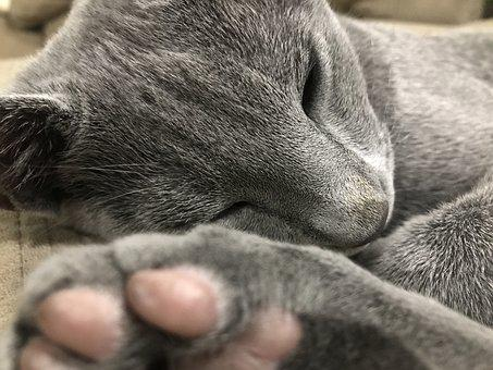 Cat, Feline, Russian Blue, Pet, Animal, Cute, Domestic