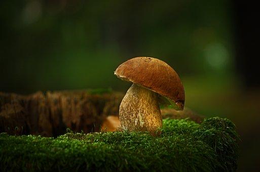 Mushroom, Cep, Nature, Mushroom Picking, Edible, Autumn
