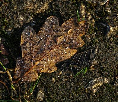 Oak Leaf, Leaf, Drop Of Water, Morgentau, Dewdrop