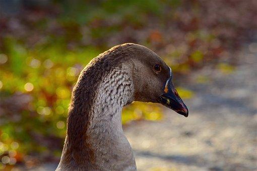 Goose, Profile, Face, Portrait, Bill, Feathers, Eyes