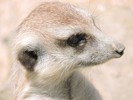 Meerkat, Animals, Nature, Animal World, Look, Fauna