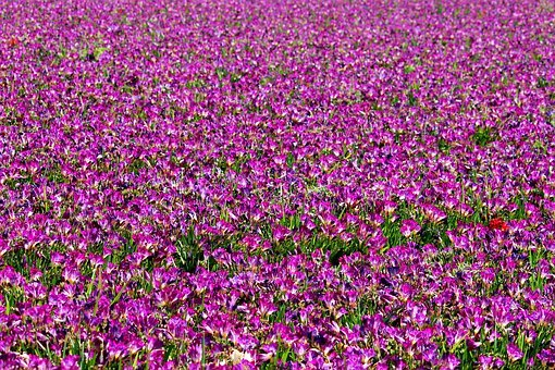 Freesia, Field Of Flowers, Many, Violet, Purple, Field