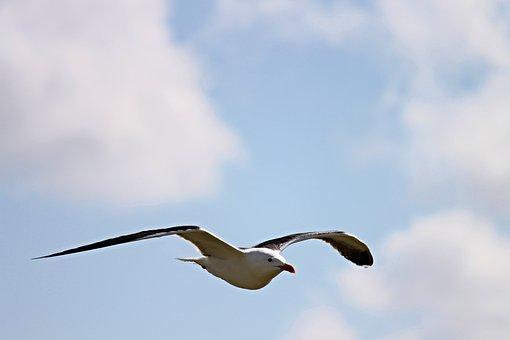 Seagull, Fly, Flight, Water Bird, Bird, Seevogel