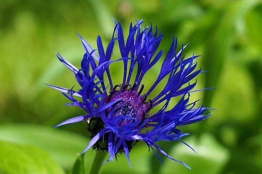 Flower, Nature, Garden, Plant, Petals, Green, Blue