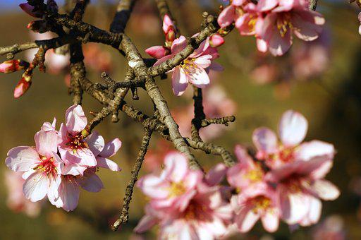 Almond Tree, Flowers White, Flowers Almond Tree
