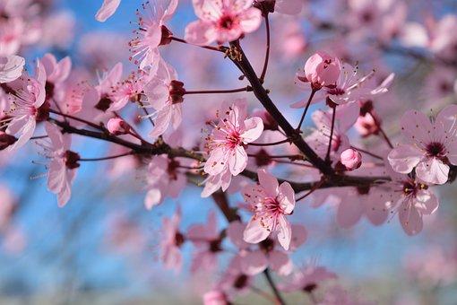 Flowers, Pesco, Rosa, Spring