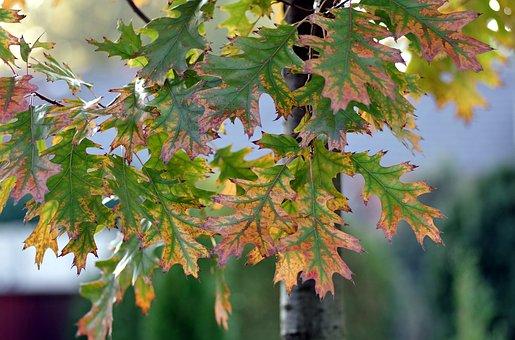 Foliage, Oak, Green, Yellow, Autumn, Nature, Tree