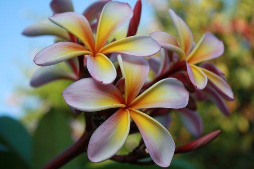 Frangipani, Flowers, White, Pink, Yellow, Blossom