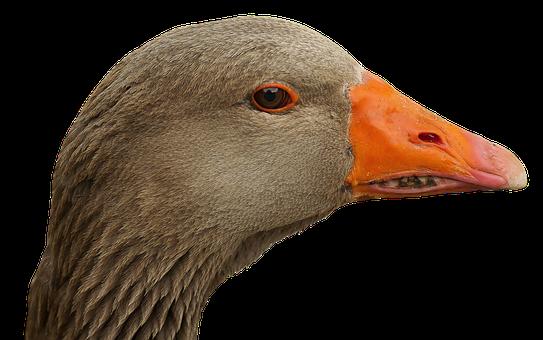 Goose, Head, Goose Beak, Bill, Bird, Portrait, Poultry
