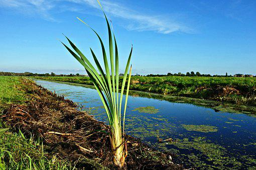 Blade, Growth, Vegetation, Ditch, Water, Meadow, Polder