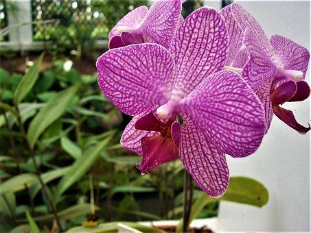 Orchid, Potted Plants, Precious Flower, Houseplant