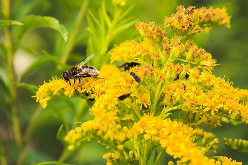 Insect, Yellow Flowers, Elder, Yellow Flower