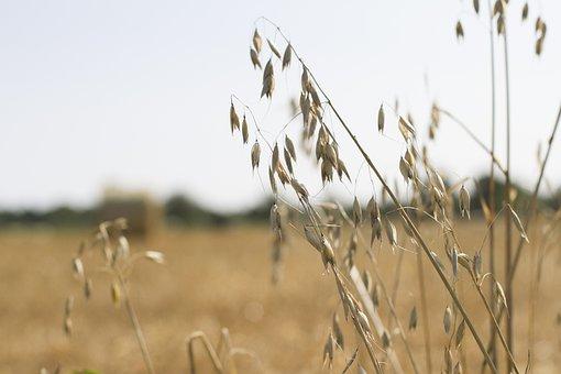 Oats, Farm Landscape, Landscape, Farm, Agriculture