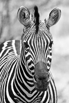 Monochrome, Black White, Pilanesberg National Park