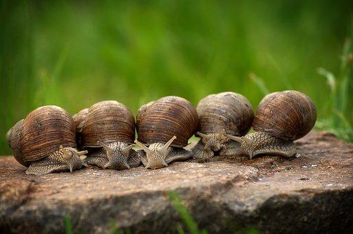 Snail, Snails, Shell, Slowly, Mollusk, Crawl, Macro