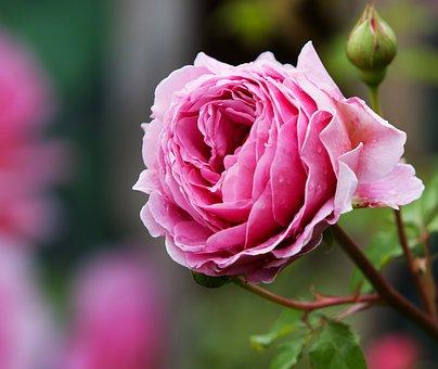 Rose, Pink, Flower, Nature, Petal, Plant, Bloom, Fresh