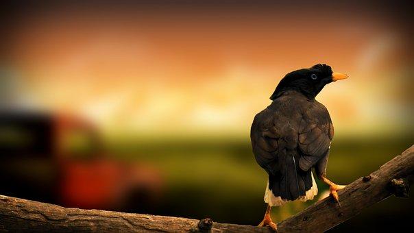 Maynah, Bird, Creative, Manyna, Flying, Wild, Nature