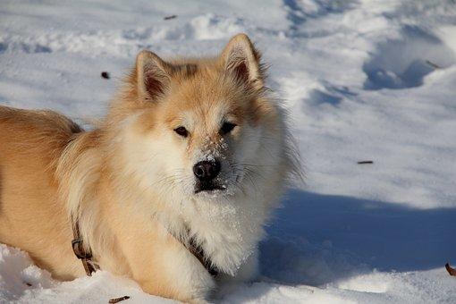 Eurasians, Dog, Pet, Race, Dog Breed, Sweet